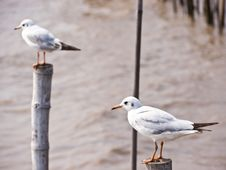 Free Seagull Stock Images - 23347434