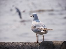 Free Seagull Royalty Free Stock Photo - 23347465