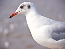 Free Seagull Stock Photos - 23347493