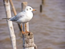 Free Seagull Royalty Free Stock Images - 23347549