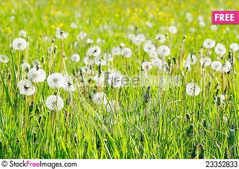Free Dandelions Stock Photos - 23352833