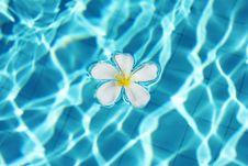 Frangipani Flower In The Swimming Pool Stock Image