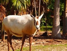 Free Addax Look Royalty Free Stock Photography - 23355507