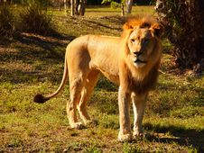 Free Male Lion Royalty Free Stock Image - 23355656