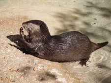 Free Otter Eating Stock Image - 23355751