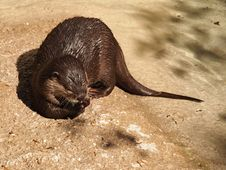 Free Otter Eating Royalty Free Stock Photography - 23355777