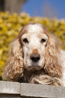 Cocker Spaniel Royalty Free Stock Photography