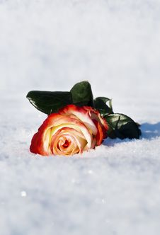 Free Rose In The Snow In The Winter Stock Photo - 23358960