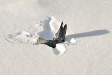 Dead Pigeon In Snow Royalty Free Stock Images