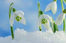 Free Snowdrops Stock Photo - 23364570