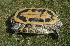 Free Backside Of A Red-eared Turtle Stock Photography - 23368412