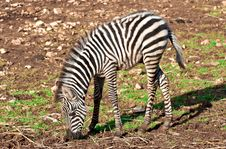 Free Child Of Zebra Stock Images - 23368524