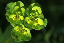 Free Sun Spurge Royalty Free Stock Photography - 23369427