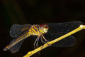Free Tiger Dragonfly. Royalty Free Stock Image - 23385256