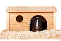 Free Guinea Pigs In A Wooden Small House Royalty Free Stock Image - 23388366
