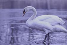 Free Swan Royalty Free Stock Image - 23380146