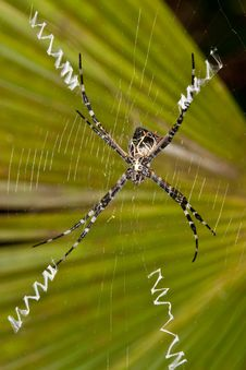 Free Argiope Lobata Spider. Stock Photography - 23385212