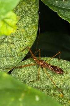 Free Red Eyed Assassin Bug Lying In Ambush. Stock Photo - 23385260