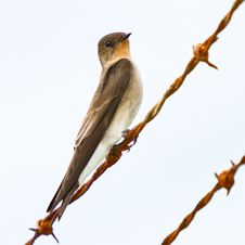 Free Southern Rough-winged Swallow. Stock Image - 23385411