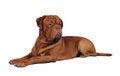 Free Bordoss Dog Lying  On White Stock Photography - 23397722