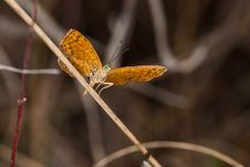 Free Little Metalmark Butterfly In The Wild. Stock Photo - 23390360