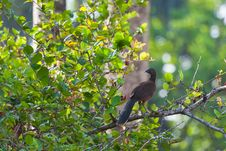 Free Gray-headed Chachalaca In Rainforest. Stock Photos - 23390373