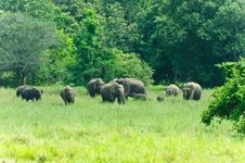 Wild Indian Elephants In The Nature Royalty Free Stock Photo