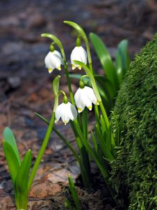 Free Galanthus Snowdrop With White Flowers Stock Image - 23394621