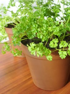 Free Parsley Growing In Pot Stock Photo - 23399280