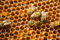 Free Bees On Honeycells Royalty Free Stock Photo - 2340725