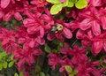 Free Bee On Azalea Stock Photo - 2344250