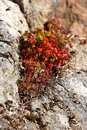 Free Rock Plants (Norway) Stock Image - 2344441