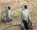 Free Vervet Monkeys Royalty Free Stock Photo - 2346445