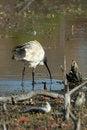 Free Ibis Feeding In Billabong Stock Photography - 2347682