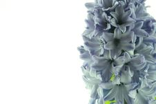 Free Hyacinths Stock Photos - 2340703