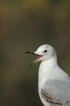 Laughing Gull Stock Photo