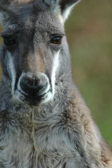Free Kangaroo Portait Stock Image - 2340951