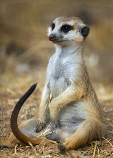 Meerkat Male Sitting Royalty Free Stock Photo