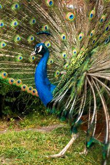 Free Peacock Stock Photo - 2341380
