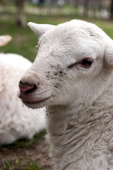 Free Lambs Stock Images - 2341384