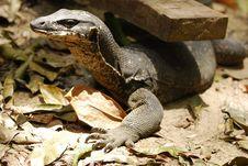 Free Lizard Royalty Free Stock Photography - 2341517