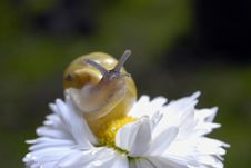 Free Snail On White Flower Royalty Free Stock Image - 2342236