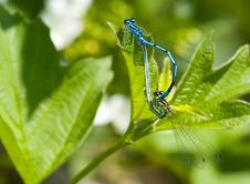Free Mating Damselfly Stock Photos - 2342723