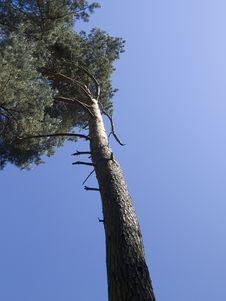 Free Old Pine Stock Photos - 2342923
