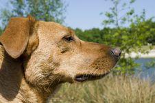 Free Close Brown Dog Royalty Free Stock Image - 2342966
