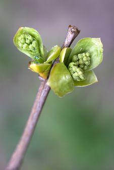 Free Leaf Bud Stock Images - 2343314