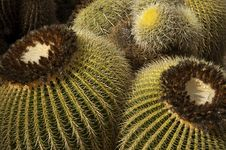 Free Mountain Ball Cactus Stock Photography - 2343332