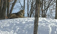 Winter Coyote Stock Photography