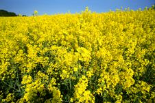 Free Rape Field Royalty Free Stock Photography - 2343447