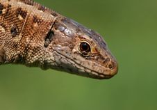 Free Lizard Portrait Royalty Free Stock Photos - 2343578